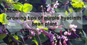 growing tips of Purple Hyacinth Bean Plants