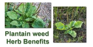 Plantain Weed herb recipe