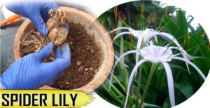 How To Care and Grow Gorgeous Spider Lily