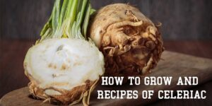 How To Grow And Recipes Of Celeriac-min