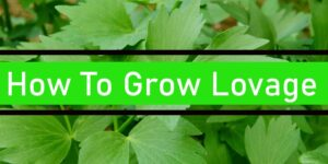 How To Grow Lovage-min