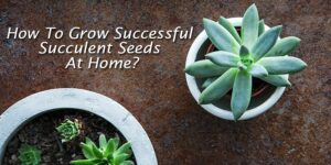 How To Grow Successful Succulent Seeds At Home-min