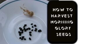 How to Harvest Morning Glory Seeds-min