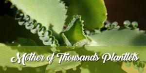 Mother of Thousands Plantlets-minMother of Thousands Plantlets-min