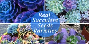 Real Succulent Seeds Varieties-min