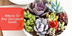Where To Buy Succulent Seeds-min