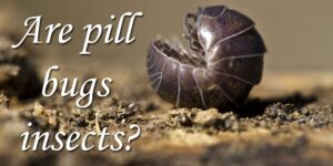 Are pill bugs insects-min