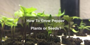 How To Grow Pepper Plants or Seeds-min