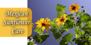 Mexican Sunflower Care
