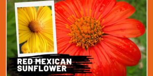 Mexican Sunflower Medicinal Uses