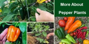 More About Pepper Plants-min