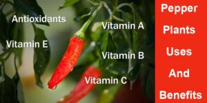 Pepper Plants Uses And Benefits-min