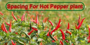 Spacing For Hot Pepper plant-min