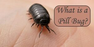 What is a Pill Bug-min