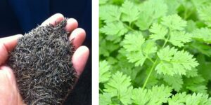 Where to get chervil and chervil seeds-min