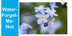 Water-Forget-Me-Not-min