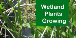 Wetland Plants Growing-min