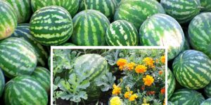 watermelon companion plants-min
